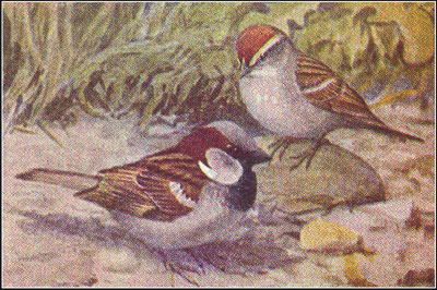 002 - Chippy the Chipping Sparrow and Bully the English Sparrow